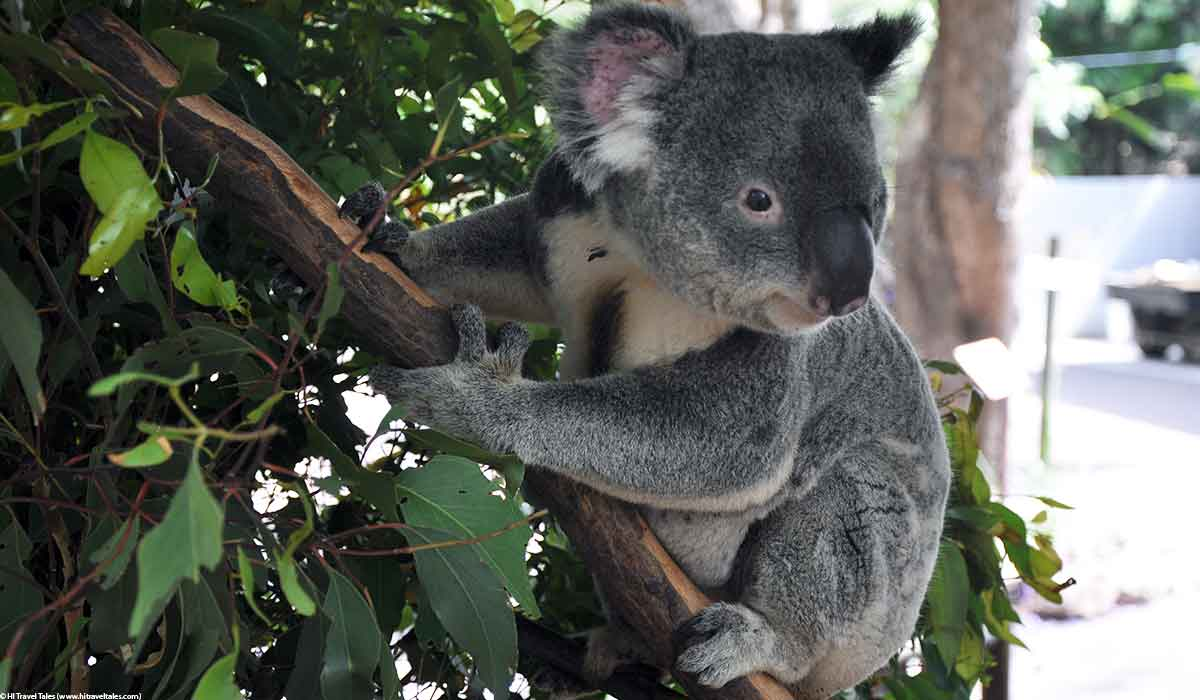 Baby koala at the Lone Pine Koala Sanctuary in Brisbane.