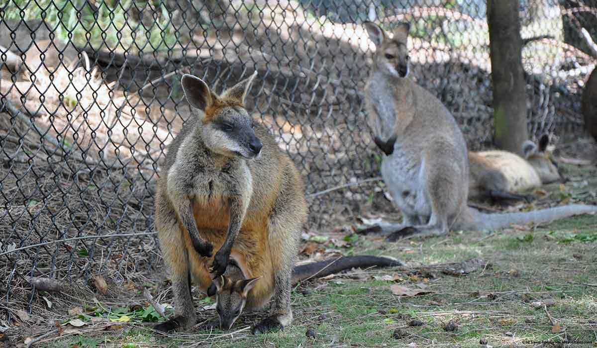 Kangaroo with baby roo peeking out of its pouch at the Lone Pine Koala Sanctuary in Brisbane.