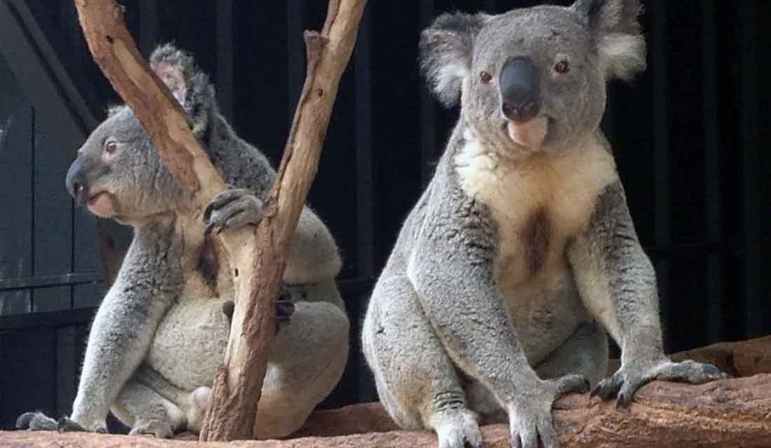Cuddling with Lucy at Lone Pine Koala Sanctuary