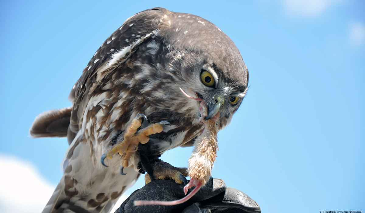 Bird of prey show at Lone Pine Koala Sanctuary as a hawk is fed a mouse for reward.