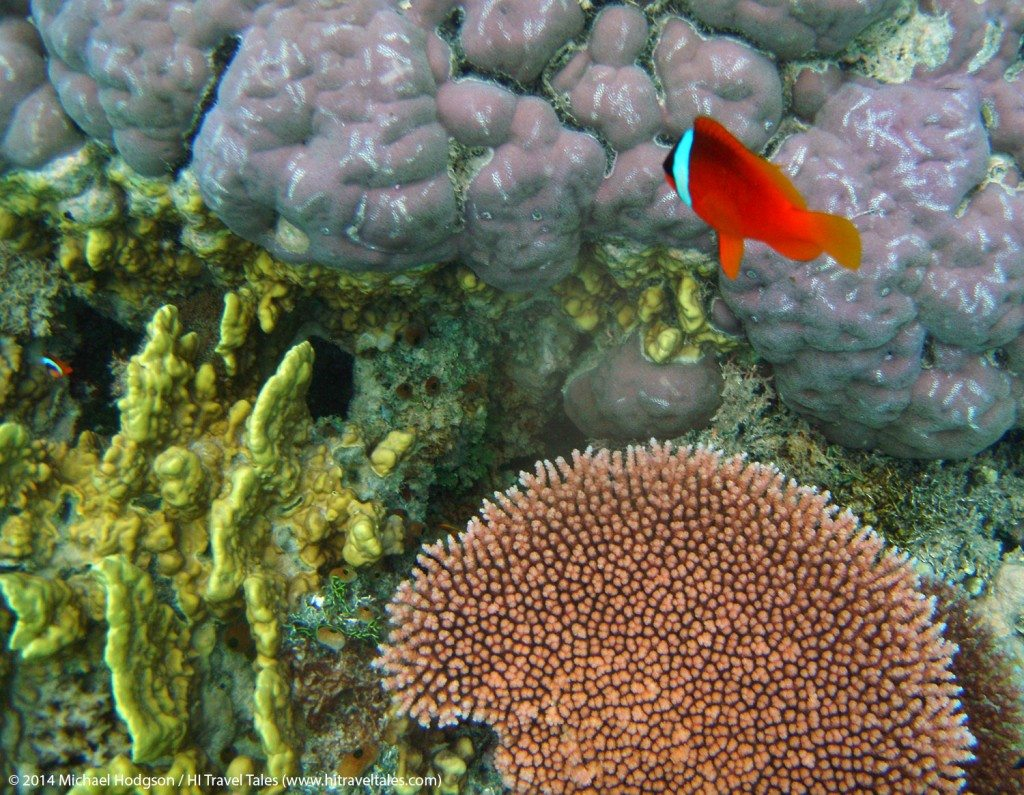 Finding Nemo ... or should we say many Nemos among the coral reefs of Fiji.