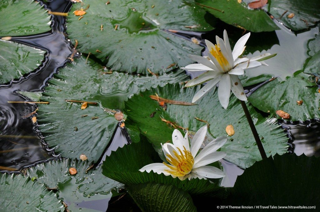 Flowering lilies add wonderful splashes of color in the ponds of the Garden of the Sleeping Giant in Fiji.