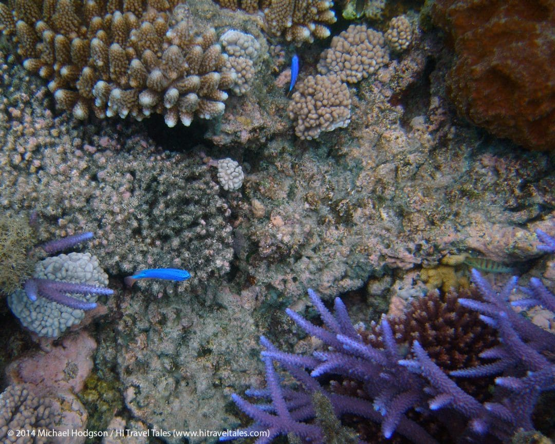 Splashes of bright color snorkeling along the coral reefs in Fiji