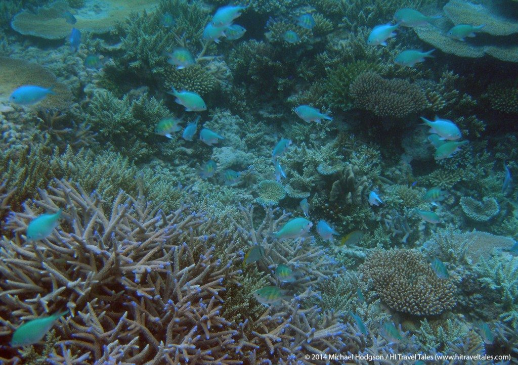 Lots of blue fish to see when snorkeling in Fiji