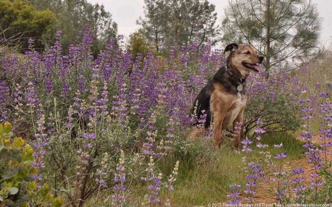 Sierra Foothills Wildflowers Hike finds Kayla in Lupine