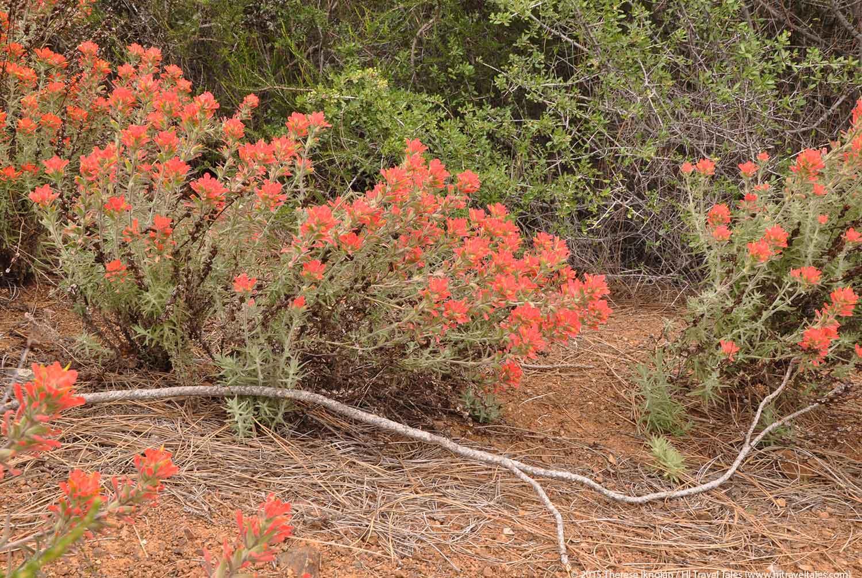 Sierra Foothills Wildflowers Hike to find paintbrush flowers