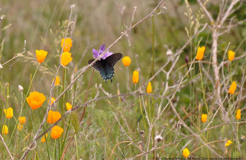 Sierra Foothills Wildflower Hikes butterfly in poppies