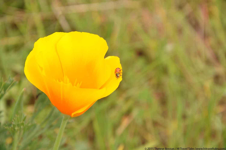 Sierra Foothills Wildflower Hikes ladybug in a poppy