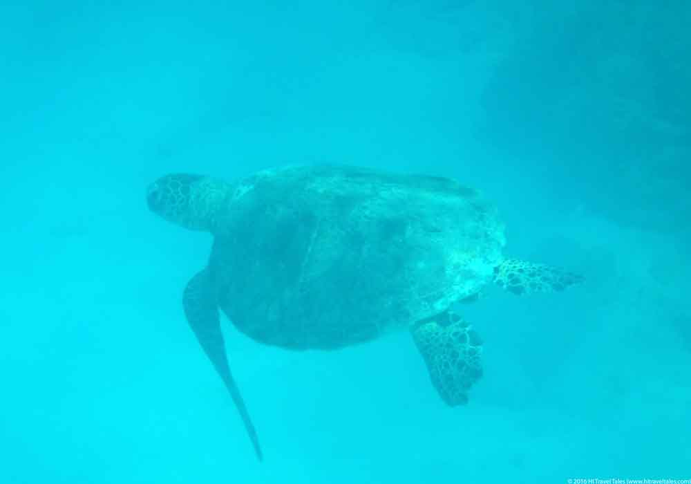 A sea turtle swims by at Signal Island.