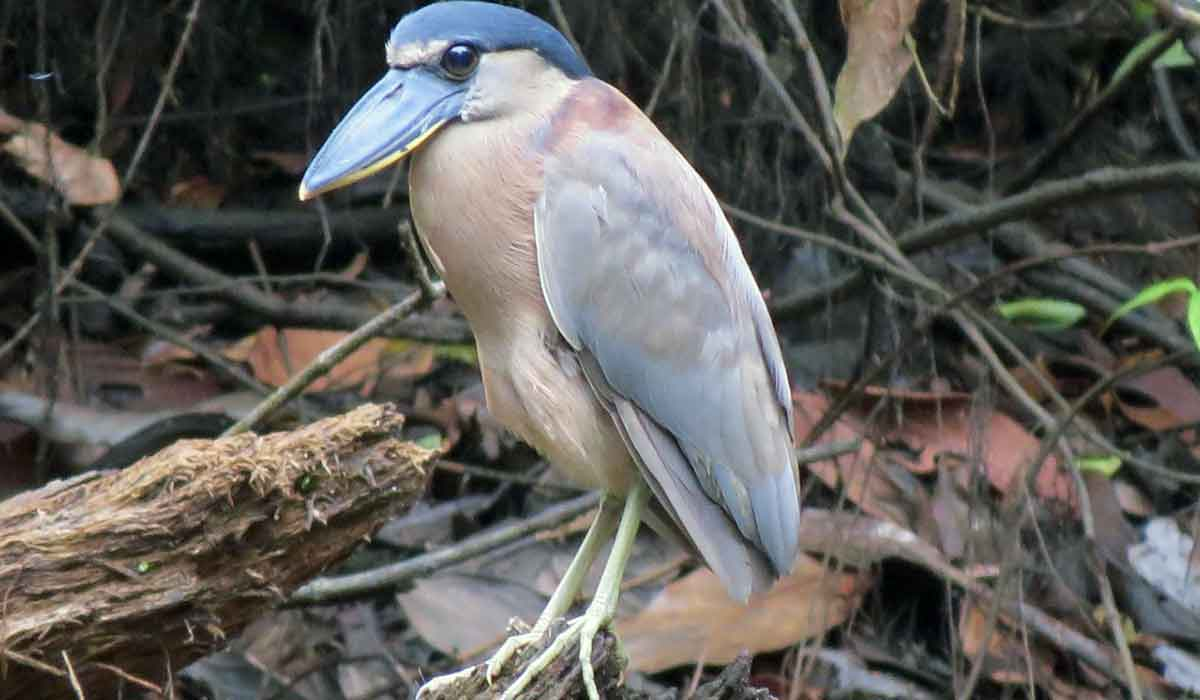 A boat billed heron seen during our travels to Panama