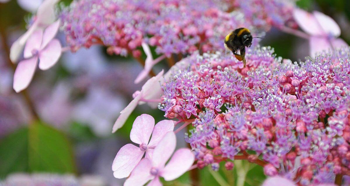 Busy bee in Hamburg's Planten un Blomen garden