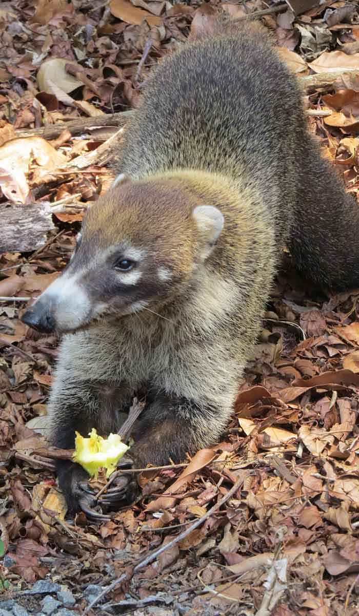 coatimundi munches a discarded apple core during our travel to Panama.