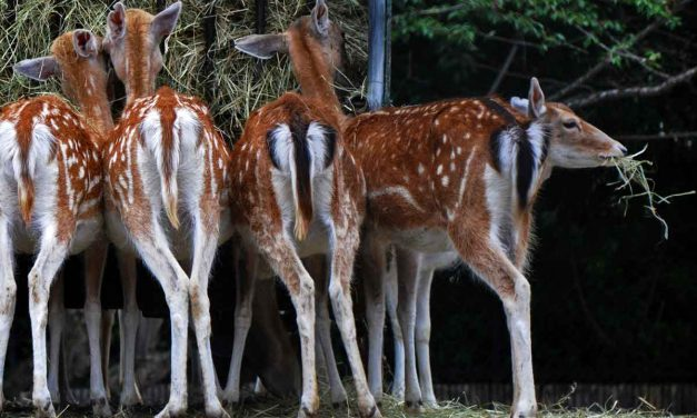 Wagging Bambi tails at Jardin des Plantes in Paris