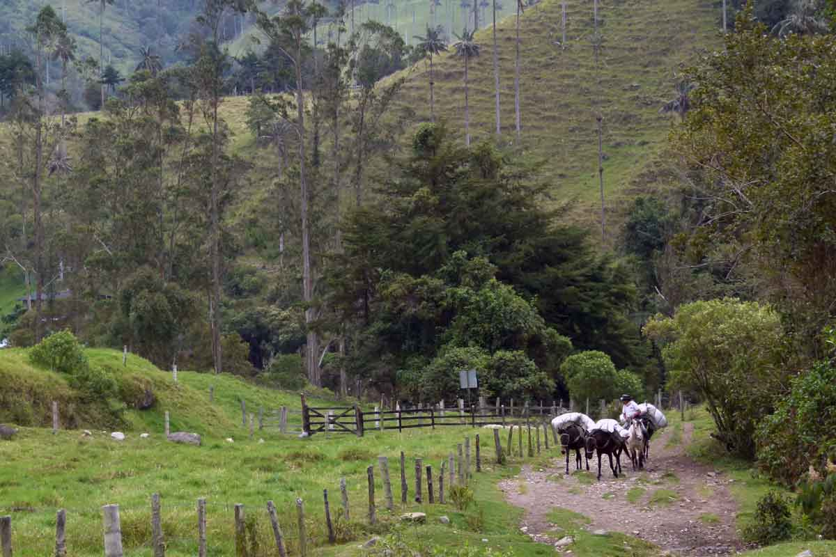 Colombia donkees carrying coffee.