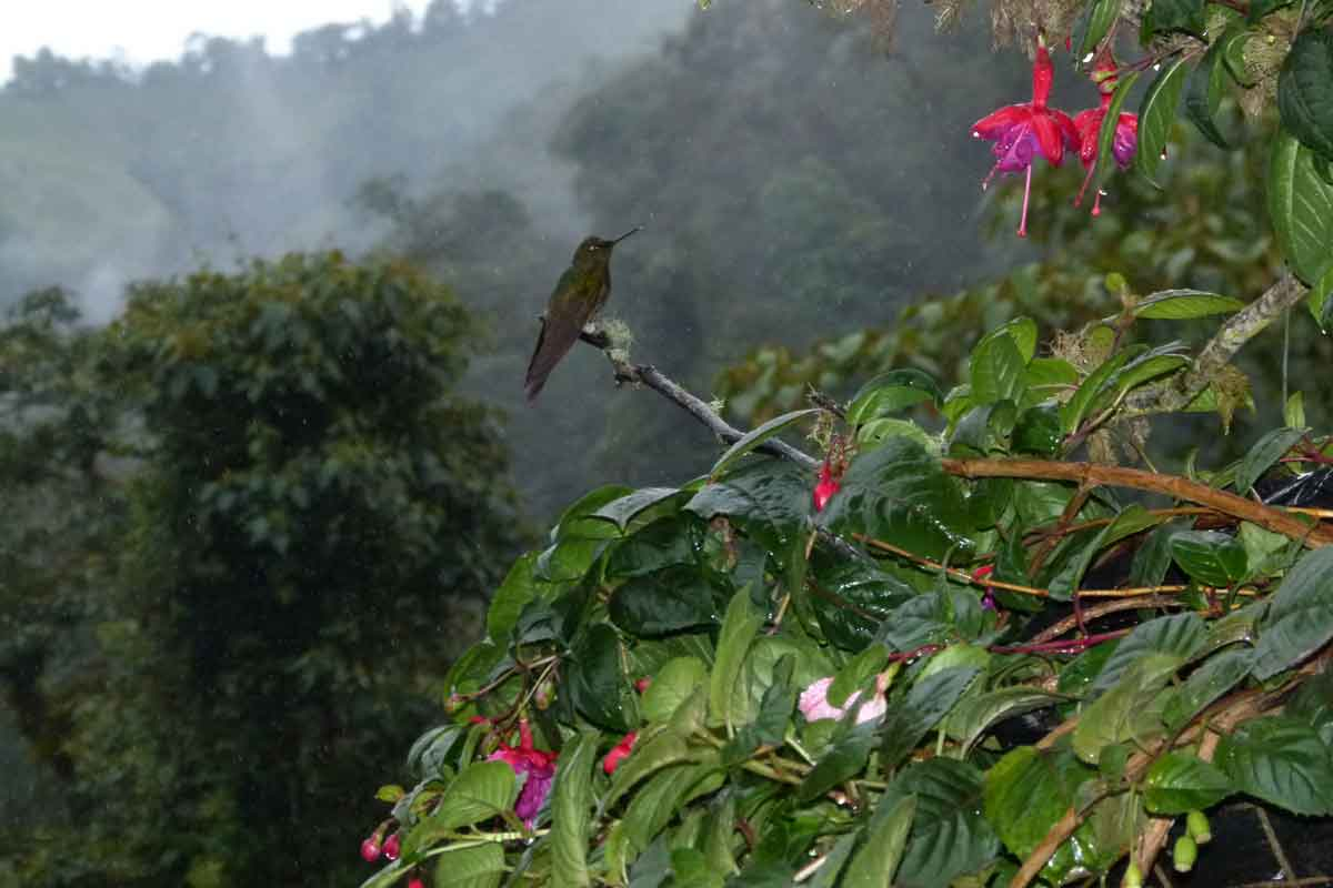 Hummingbird perched in the jungle of Colombia.