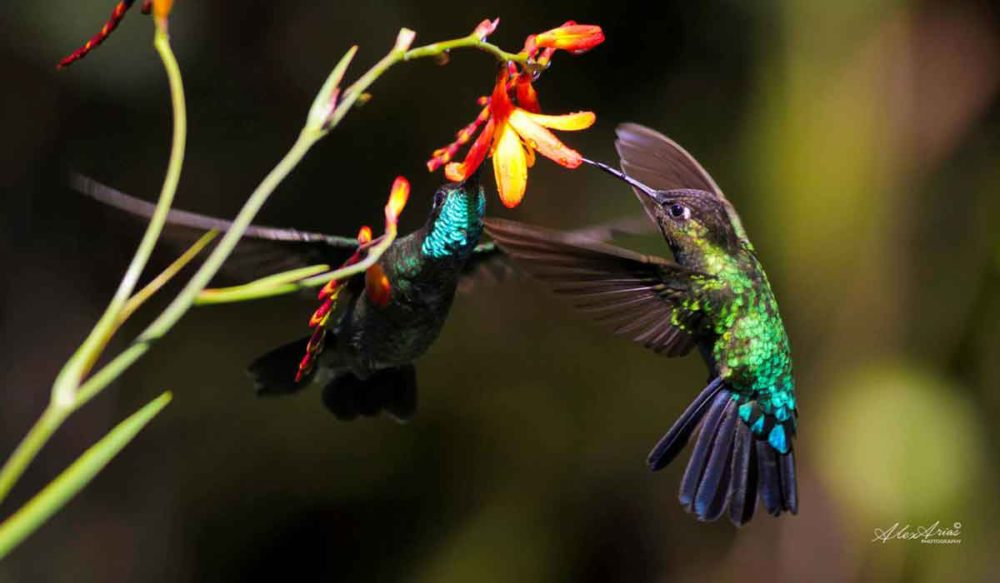 Colorful humming birds in Costa Rica