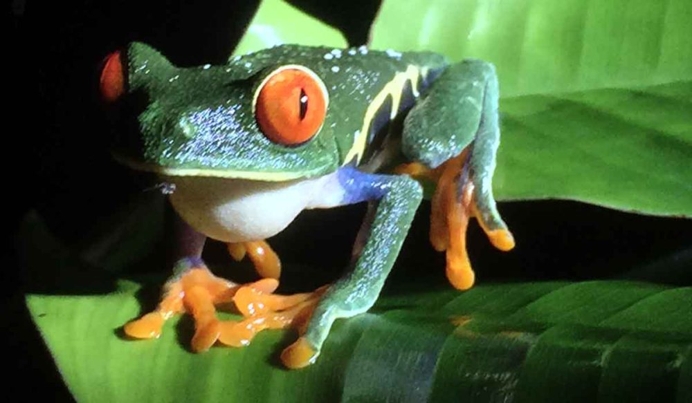 Tiny and colorful Costa Rica tree frog