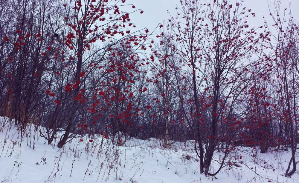 Red flowers adorn trees in Kirkenes Norway winter.