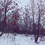Cheery red flowers on barren trees in Kirkenes, Norway