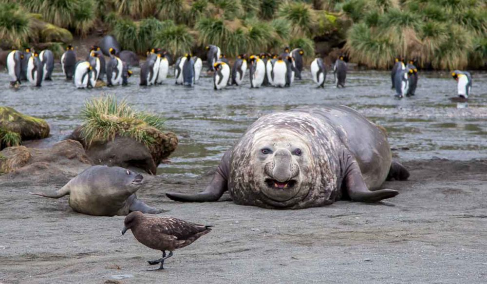 Elephant seal in the Antarctica.