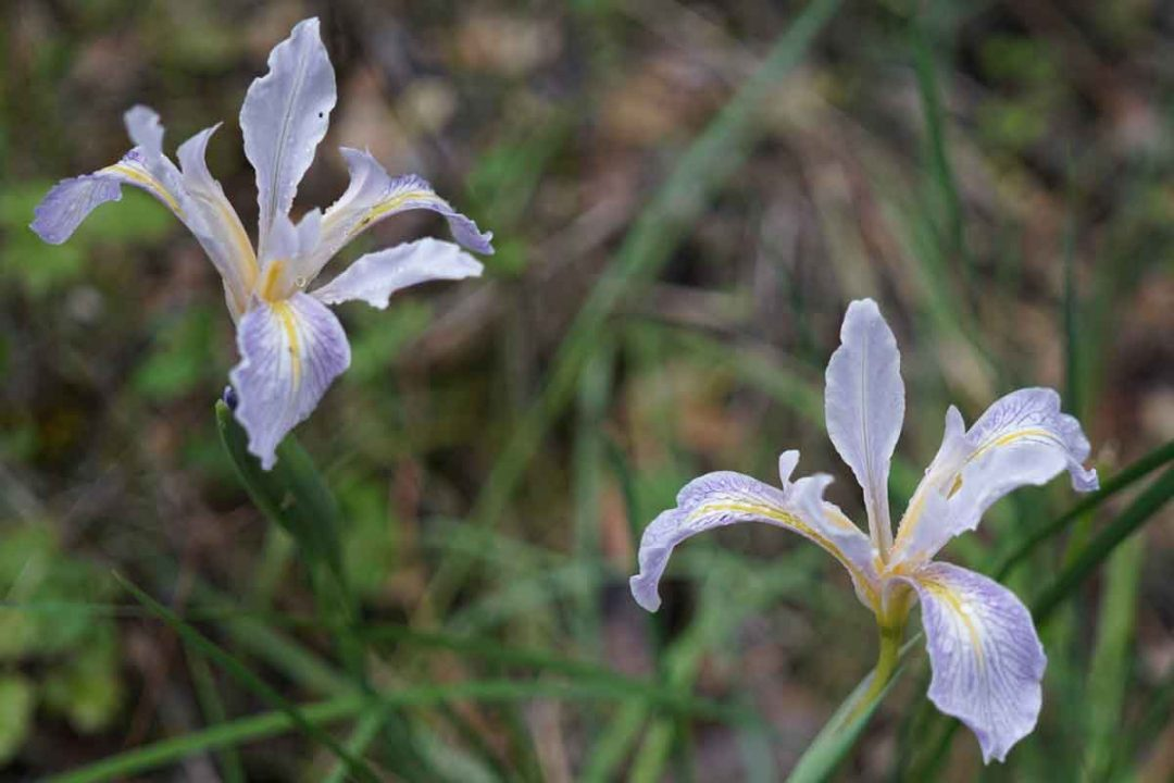 Wild iris at South Yuba River State Park.