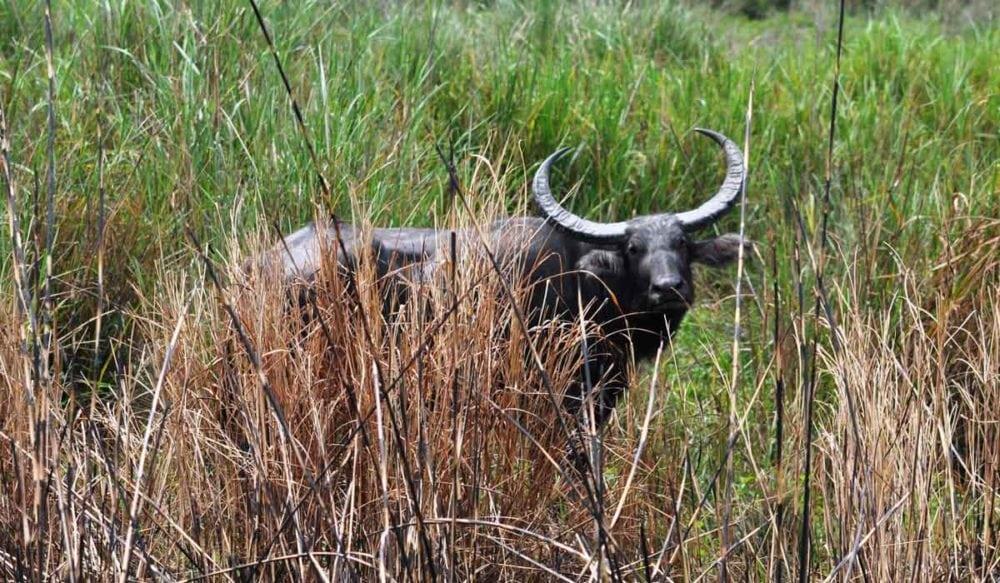 Asia buffalo on our India safari.