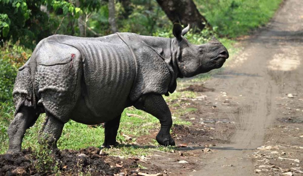 On safari in India, you will likley see rhino like this.