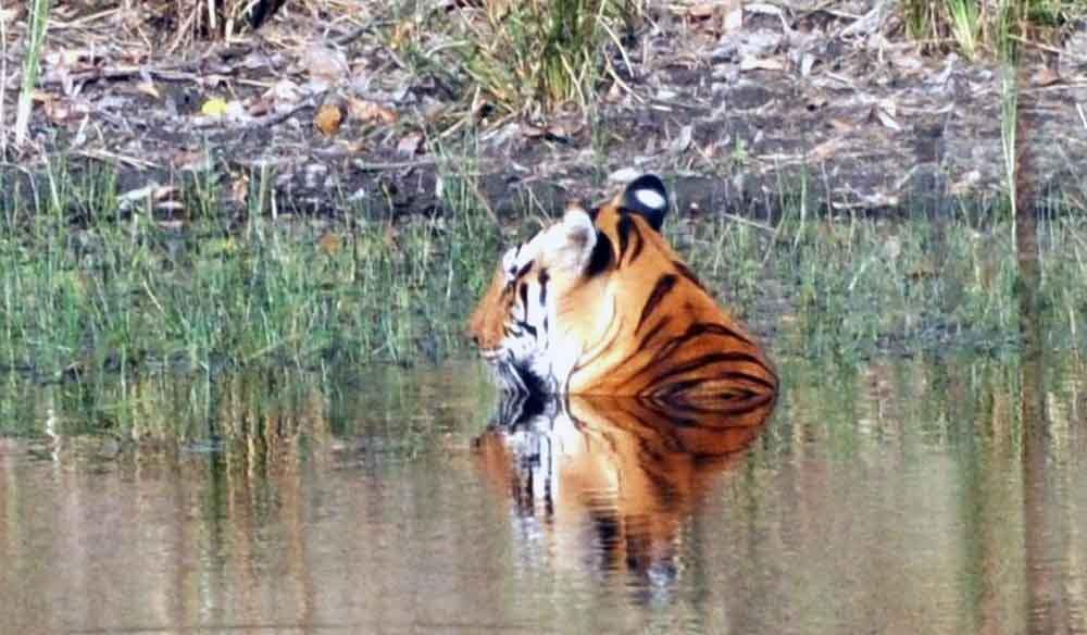 Seeing a tiger in the water on our India Safari.