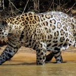 To see jaguars and exotic wildlife visit the Brazil Amazon and Pantanal
