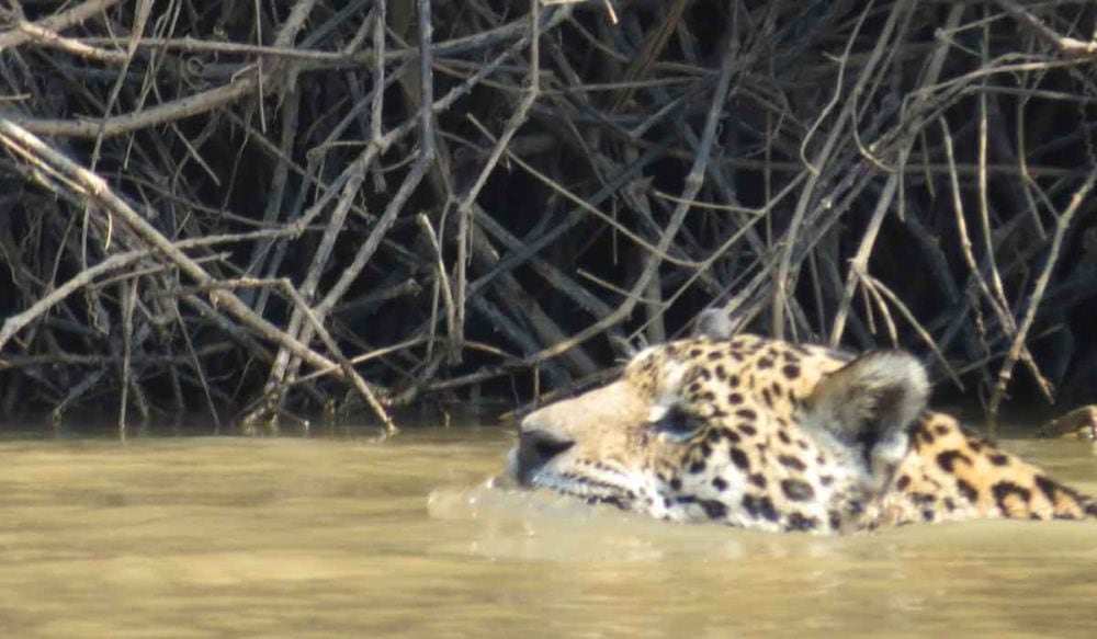 Jaguar in the waters of the Amazon.