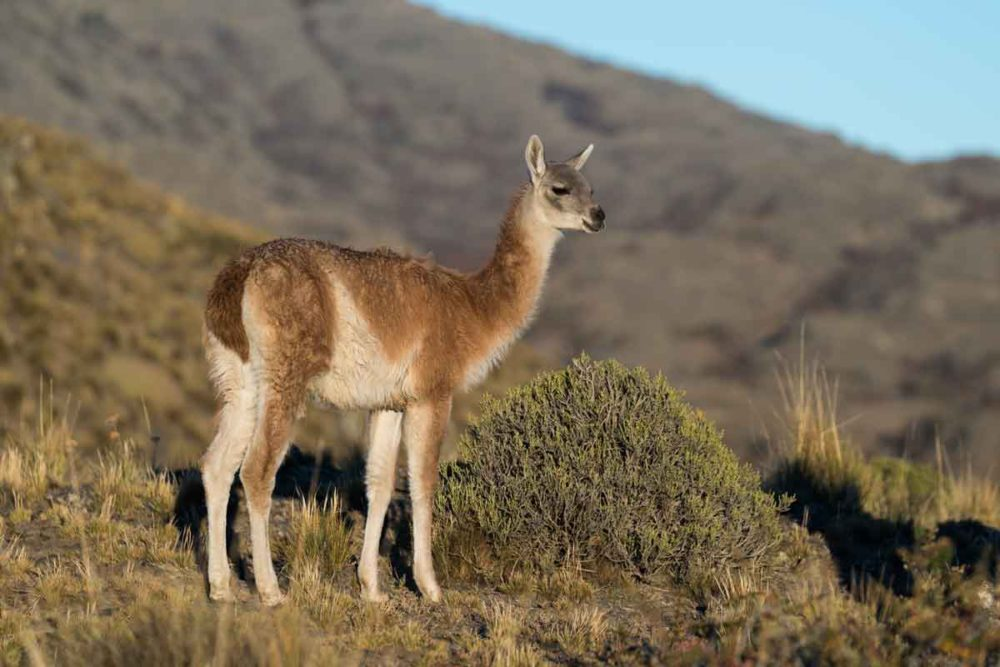 A guanaco standing in Patagonia National Park.