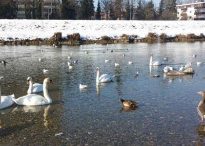 Isar River Munich Swans