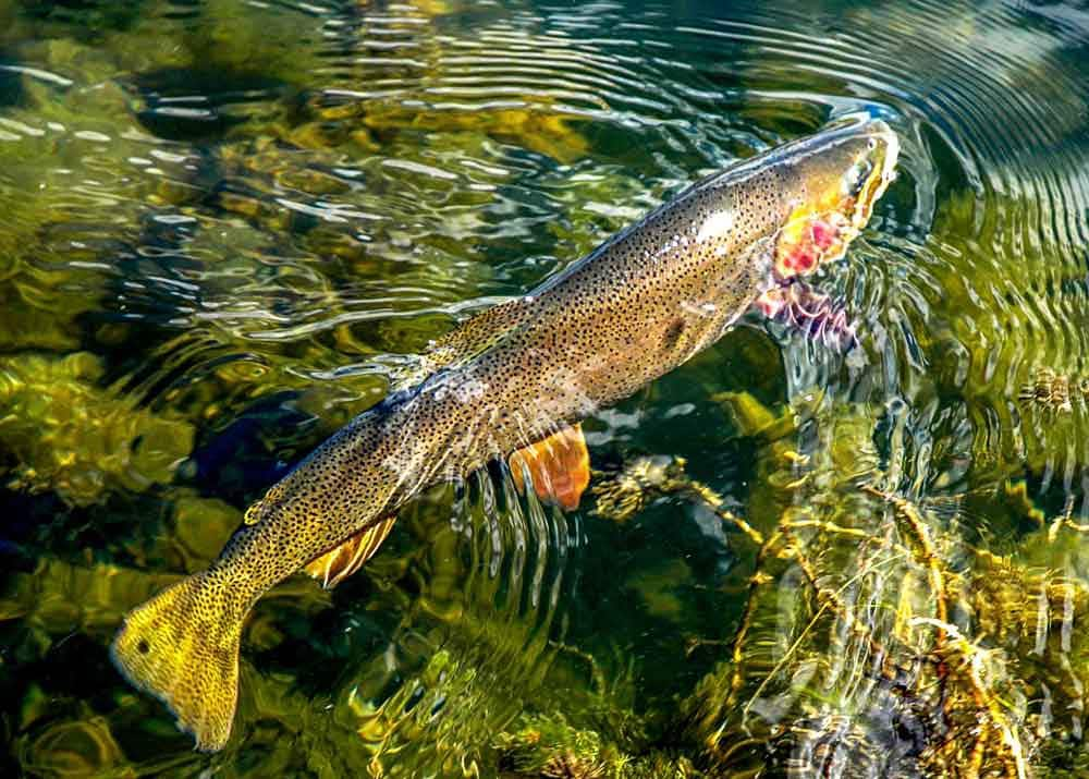 Polarized image of a trout