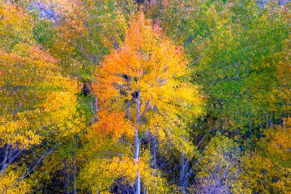 Fall colors aspen zoom effect