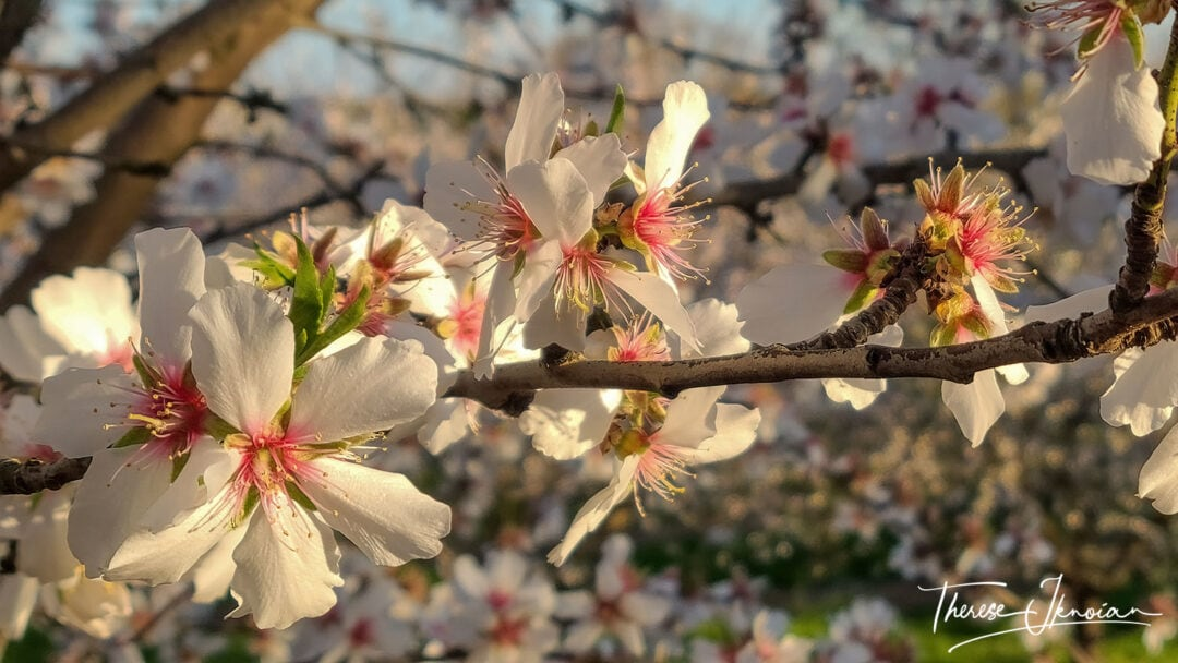 A Closeup With Background Blur Of Almond Blossom