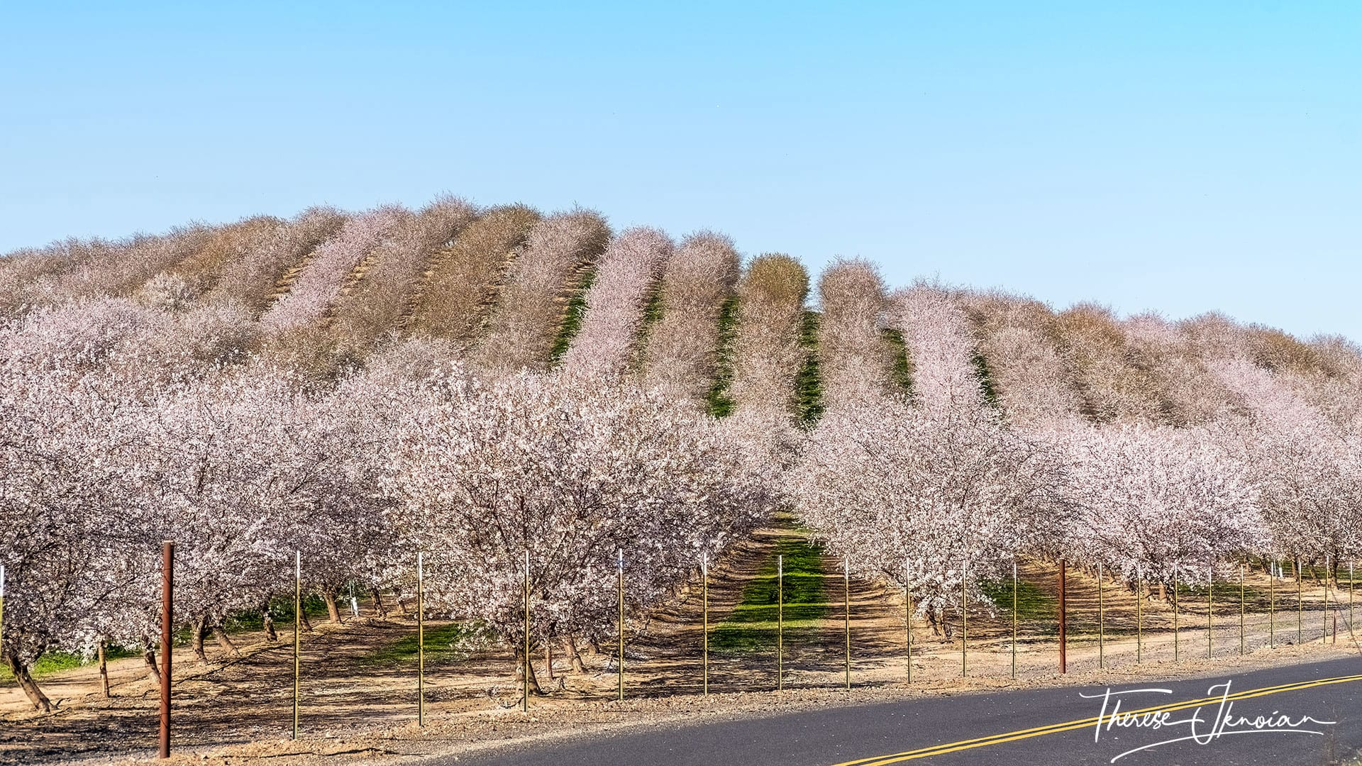 Almond Blossom Cruise Modesto
