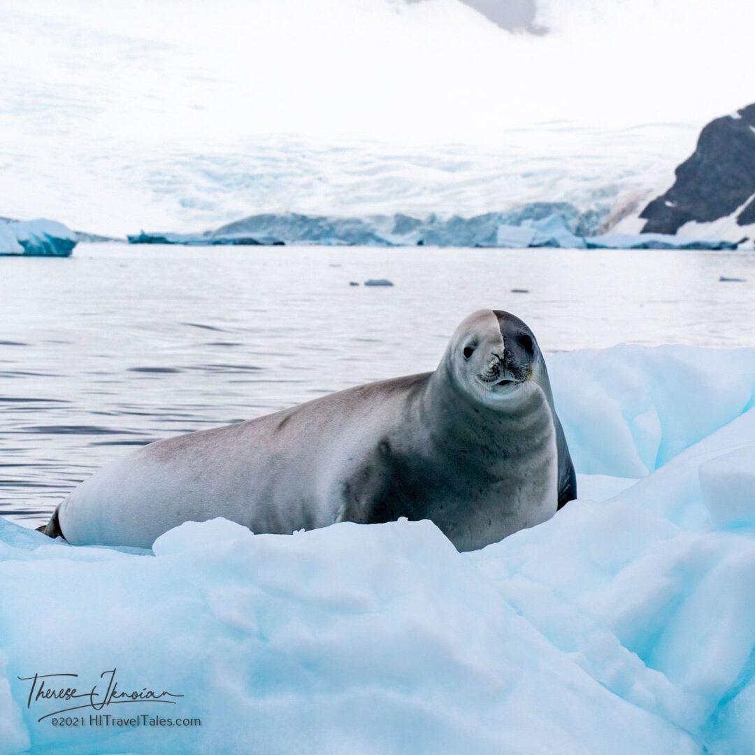 Antarctica Crab Eater Seal