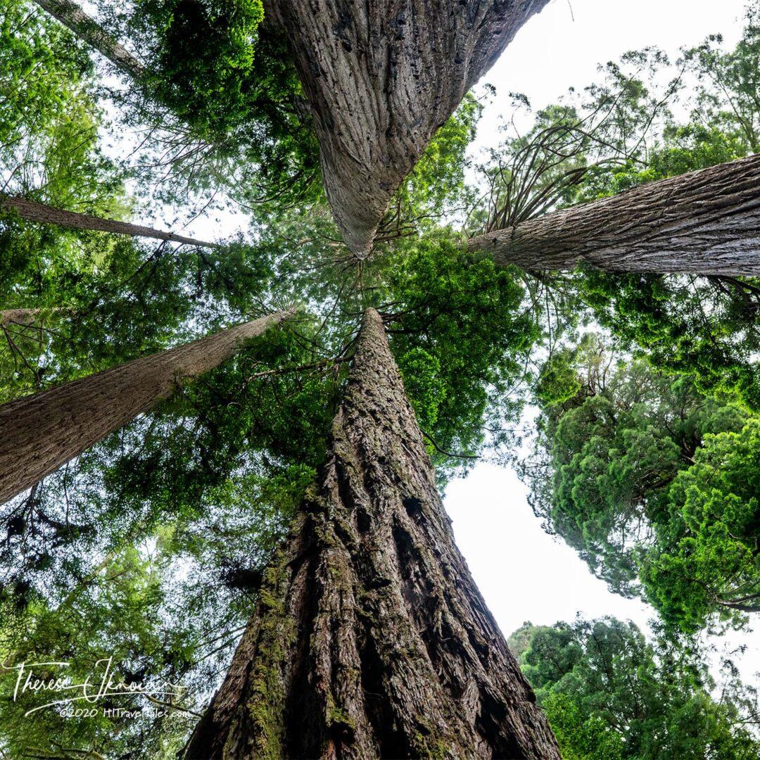 CA Big Tree Grove Redwoods