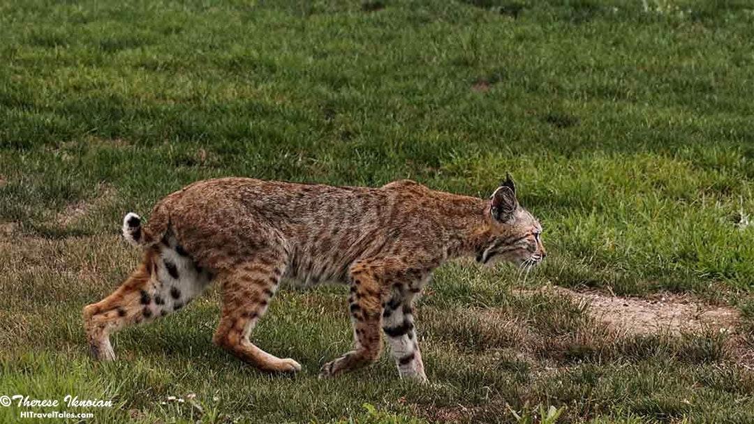 A juvenile bobcat hunting at Palo Corona Regional Park in Carmel.