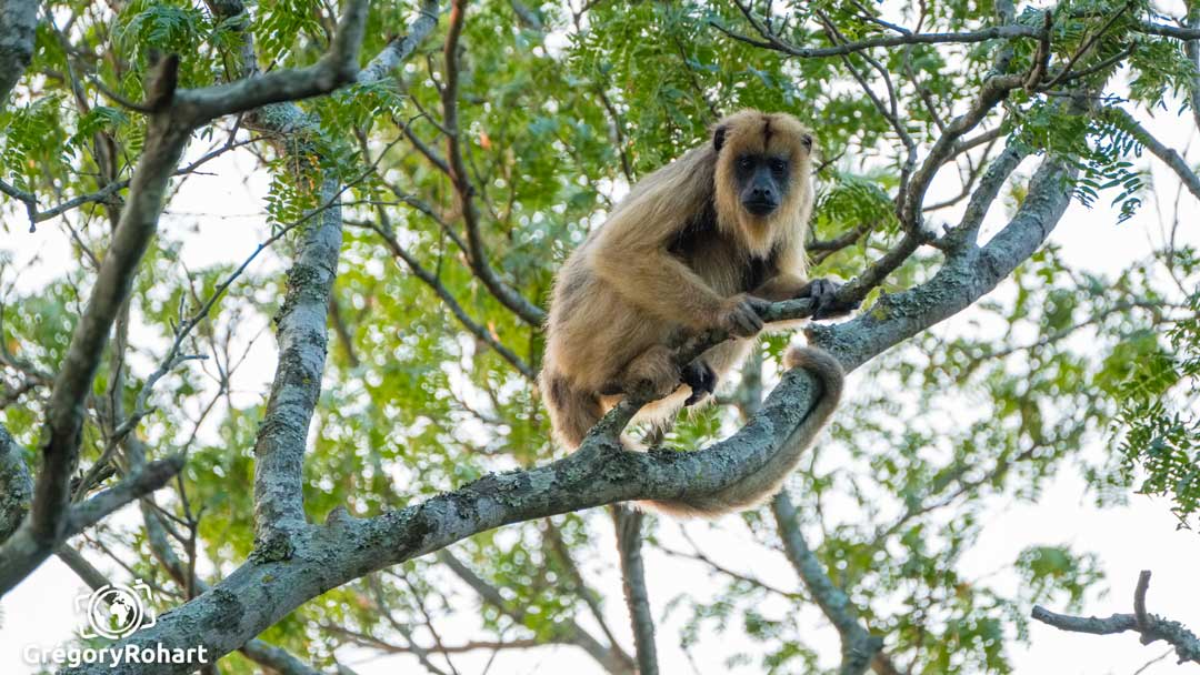 Howler monkey photo by Gregory Rohart from El Impenetrable.