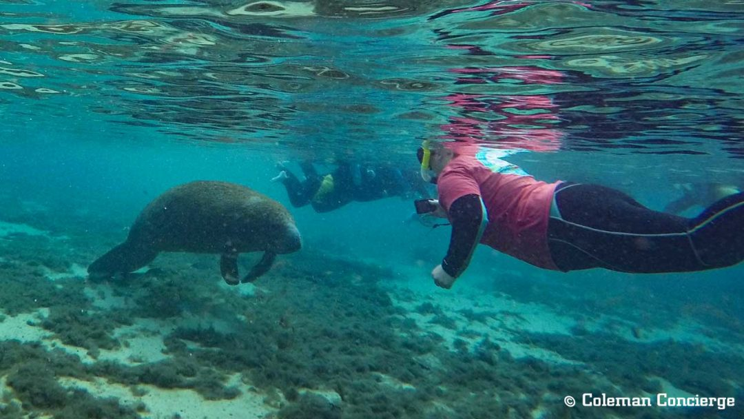 Snorkeling with manatee in Crystal River Florida