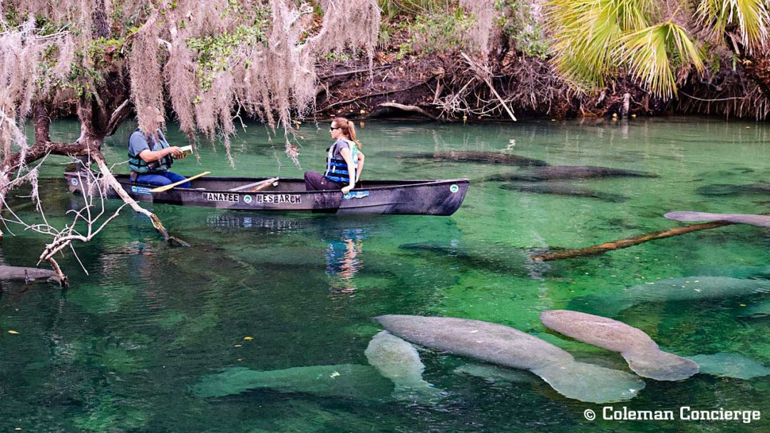 Manatees in Blue Springs Florida