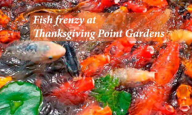 Fish frenzy at Thanksgiving Point gardens Salt Lake City
