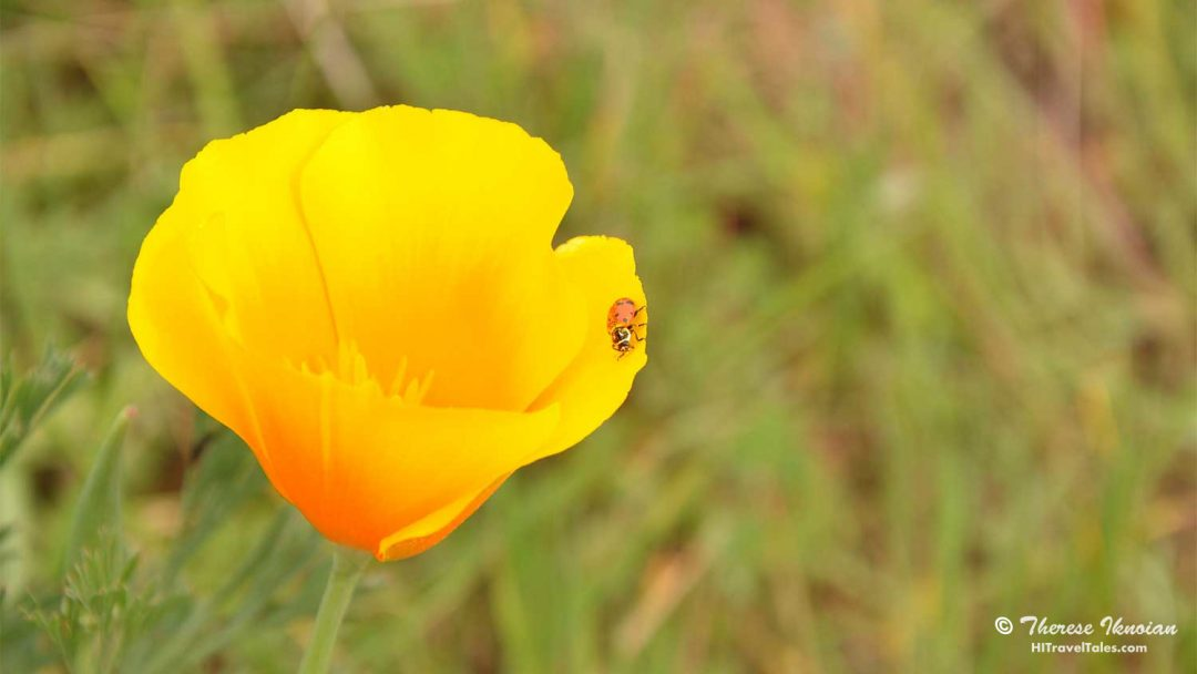 Photo Diary where to find wildflowers featuring poppies and ladybugs.