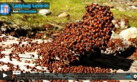 A ladybugs love-in at Malakoff Diggins State Historic Park