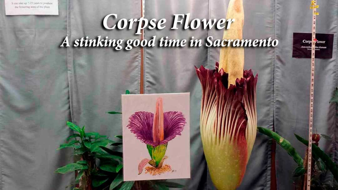 Corpse Flower in bloom at Sacramento State