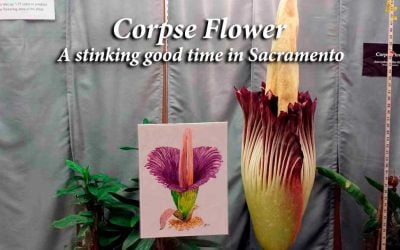 Corpse Flower: stinking good time in Sacramento
