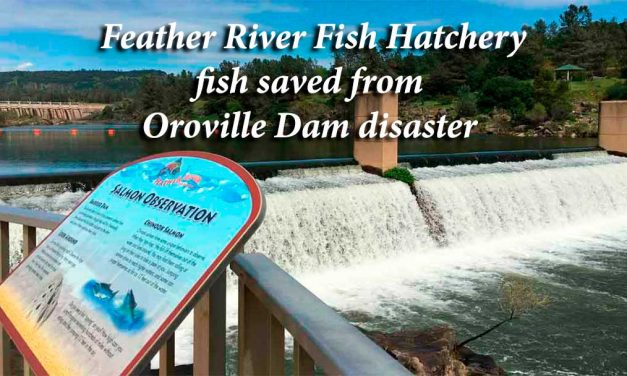 Feather River Fish Hatchery fish saved from Oroville Dam disaster