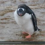 Happy feet penguin filmed in Antarctica splashing in puddles