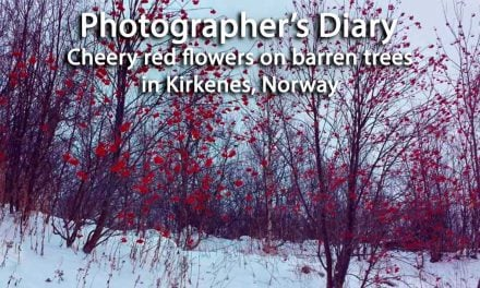 Cheery red flowers on barren trees in Kirkenes, Norway